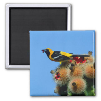 Hooded Oriole, male, eating cactus blossum 2 Inch Square Magnet