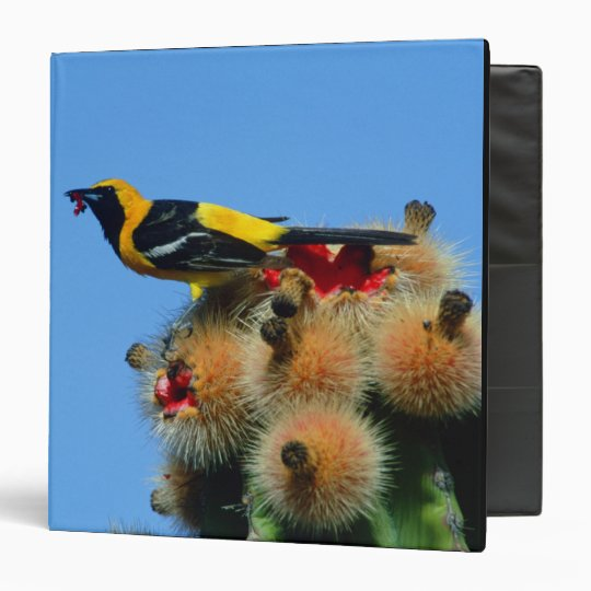 Hooded Oriole, male, eating cactus blossum 3 Ring Binder