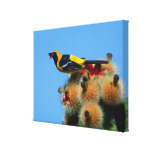 Hooded Oriole, male, eating cactus blossum Gallery Wrap Canvas