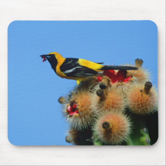 Hooded Oriole, male, eating cactus blossum Mouse Pad