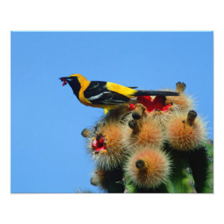 Hooded Oriole, male, eating cactus blossum Photo Print