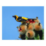 Hooded Oriole, male, eating cactus blossum Photograph