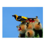 Hooded Oriole, male, eating cactus blossum Post Cards