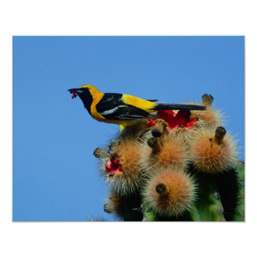Hooded Oriole, male, eating cactus blossum Poster