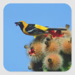 Hooded Oriole, male, eating cactus blossum Square Sticker