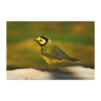 Hooded Warbler (Wilsonia Citrina) Adult Male Canvas Print