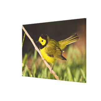 Hooded Warbler Wilsonia citrina) adult, male, Canvas Print