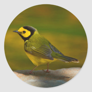 Hooded Warbler (Wilsonia Citrina) Adult Male Classic Round Sticker