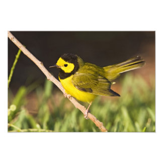 Hooded Warbler Wilsonia citrina adult male Photo Print