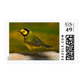 Hooded Warbler (Wilsonia Citrina) Adult Male Stamp