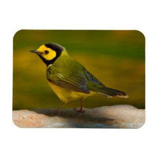 Hooded Warbler (Wilsonia Citrina) Adult Male Rectangle Magnet