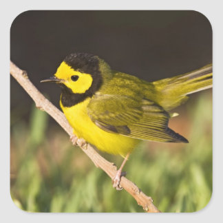 Hooded Warbler Wilsonia citrina) adult, male, Square Sticker
