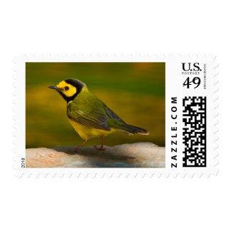 Hooded Warbler (Wilsonia Citrina) Adult Male Stamp