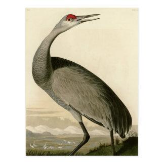Hooping Crane Postcard