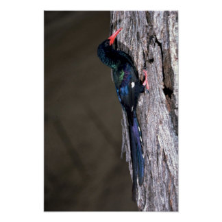 Hoopoe de madera de Redbilled Póster