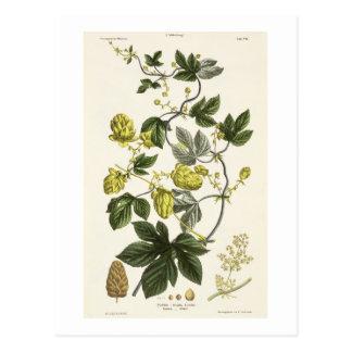 Hop Vine, from 'The Young Landsman', published Vie Postcard