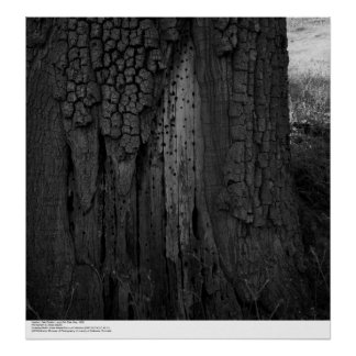 Hopland Field Station Large Oak Tree, May, 1966 Poster