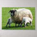 Hora de la comida para los corderos de esta oveja poster