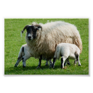 Hora de la comida para los corderos de esta oveja póster