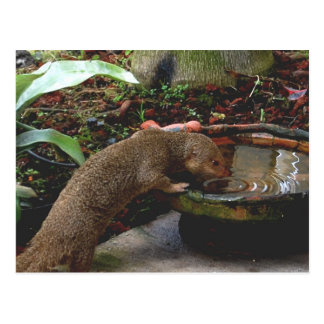 Hora feliz de la fauna de la mangosta postal