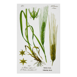 Hordeum Vulgare Barley Grass Poster