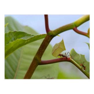 Hormigas del corte de la hoja tarjeta postal