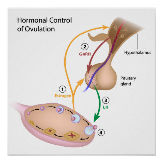 Hormonal control of ovulation Poster