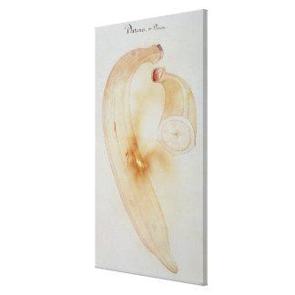 Horn Plantain Canvas Print
