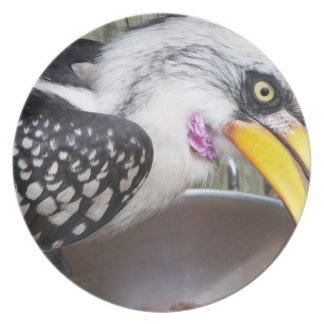 hornbill in food dish close up party plates
