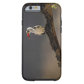 Hornbill Rojo-cargado en cuenta erythrochynchus