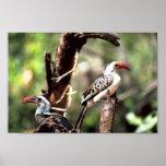 Hornbills Rojo-cargados en cuenta Impresiones