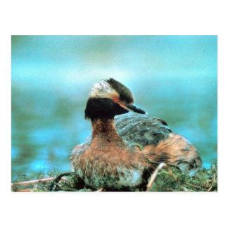 Horned Grebe Post Card