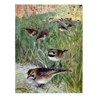 Horned Larks in a Meadow Postcard