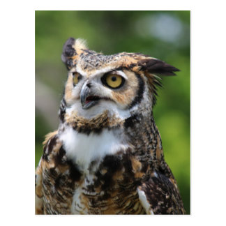 Horned Owl Postcard