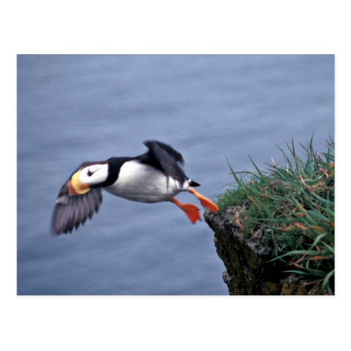 Horned Puffin Hall Island Postcard
