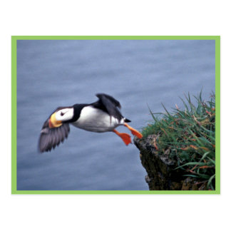 Horned Puffin Hall Island Post Cards
