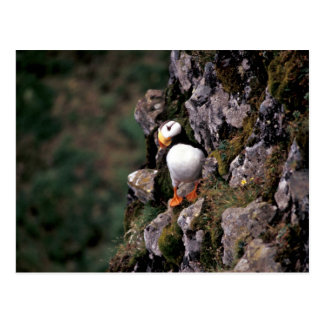 Horned Puffin, Hall Island Postcard