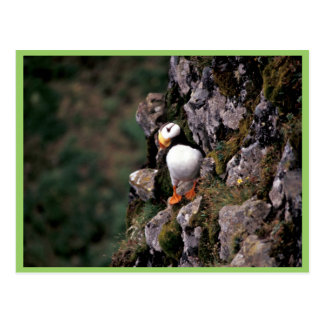 Horned Puffin, Hall Island Post Cards