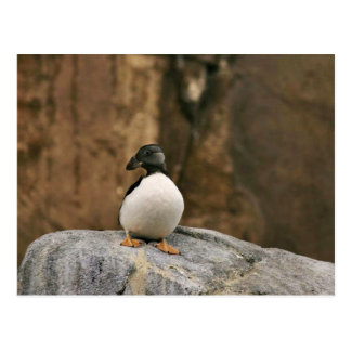 Horned Puffin in Winter Plumage Post Cards