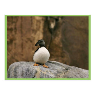 Horned Puffin in Winter Plumage Postcard