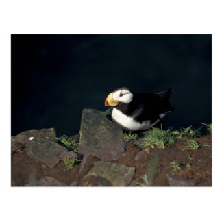 Horned Puffin on Hall Island Postcard