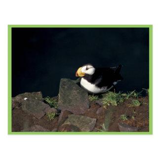 Horned Puffin on Hall Island Postcards