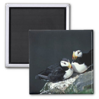 Horned Puffin pair 2 Inch Square Magnet