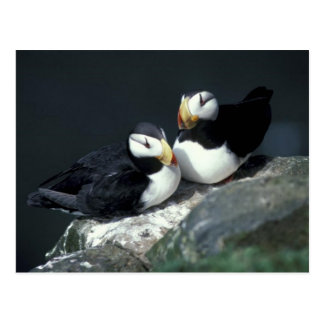 Horned Puffin pair - Customized Post Card