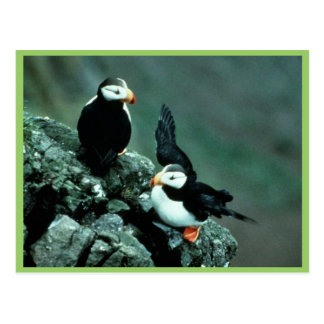 Horned Puffin Pair on Rocks Post Cards