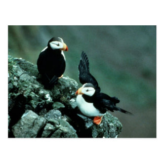 Horned Puffin Pair on Rocks Post Card