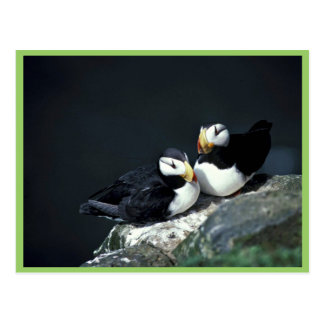 Horned Puffin pair Postcard