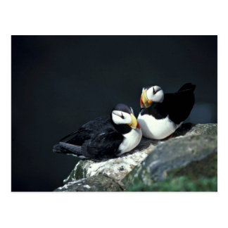 Horned Puffin pair Post Card
