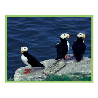 Horned Puffin Trio Postcards