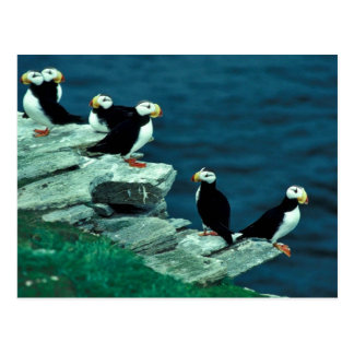 Horned Puffins on Puffin Island Postcard